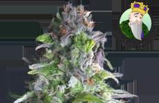 CKS Romulan Feminized Seeds
