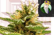 CKS Runtz Feminized Seeds