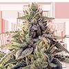 CKS Shiskaberry Feminized Cannabis Seeds