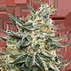 CKS Tangie Feminized Cannabis Seeds