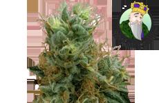 CKS Tropicana Cookies Feminized Seeds