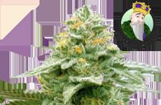 CKS White Runtz Autoflower Seeds