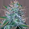 CKS White Widow Autoflower Cannabis Seeds