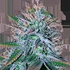 CKS White Widow Feminized Cannabis Seeds
