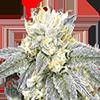 CKS Zkittlez Feminized Cannabis Seeds