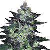 Candy Cane Autoflower Cannabis Seeds