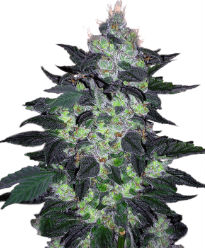 Candy Cane - Crop King Seeds