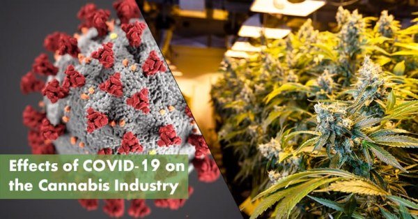Cannabis Industry COVID-19 Featured Image