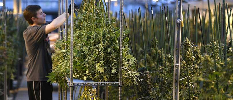 Cannabis Industry Colorado