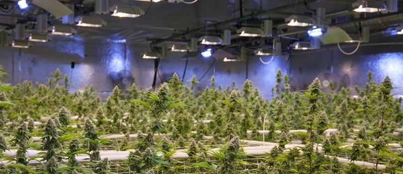 Cannabis Crop Insurance