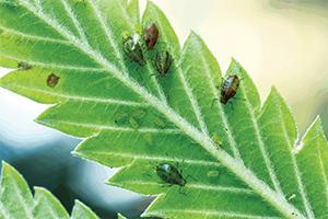 Cannabis Plant Pests