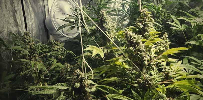 Cannabis Plants Flower Support