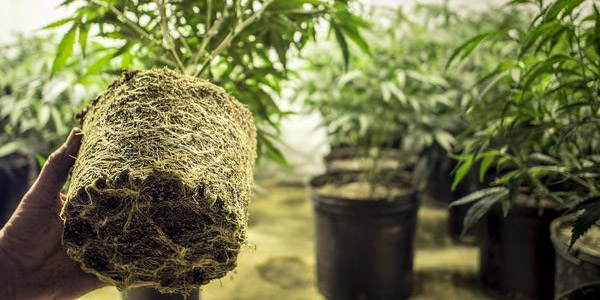 Cannabis Root Zone