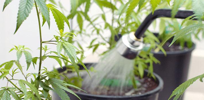 Cannabis feeding