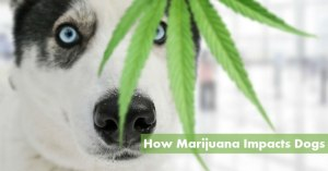 How Marijuana Impacts Dogs