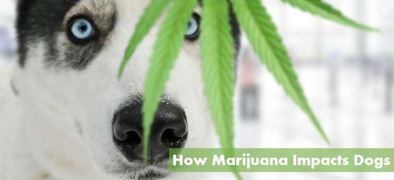 How Marijuana Impacts Dogs