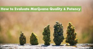 How to Evaluate Marijuana Quality & Potency