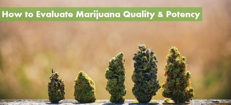 How to Evaluate Marijuana Quality & Potency