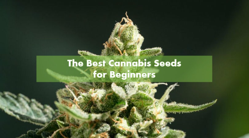The Best Cannabis Seeds for Beginners