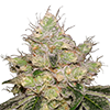 Caramelicious Auto Cannabis Seeds