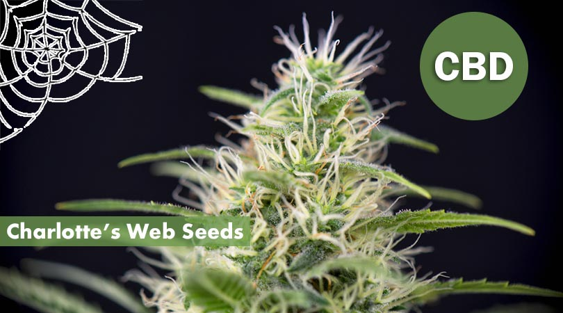 Charlottes Web Seeds Cover Photo