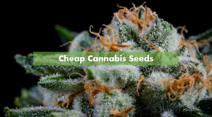"Best ""Bang for Your Buck"" - Cheap Cannabis Seeds"
