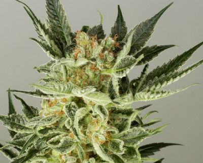 AK48 Feminized Cannabis Seeds