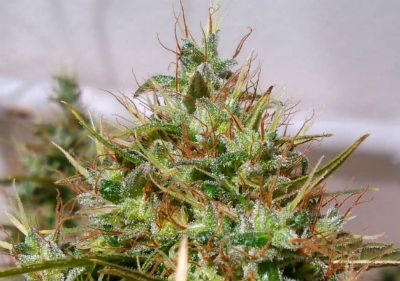 Haze Extreme Cannabis Seeds