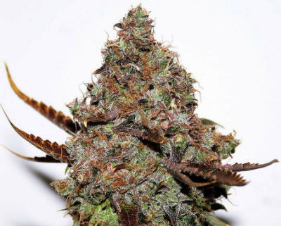 Original Skunk Cannabis Seeds