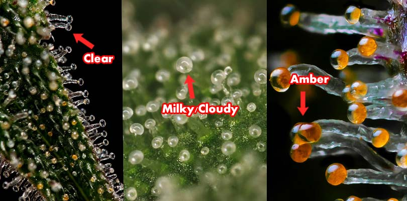 Checking Trichome Ripeness Cannabis Harvest