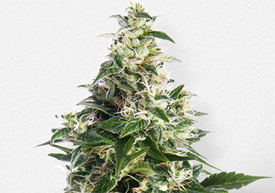 Cheee Cannabis Cup High Times Winner Seeds