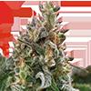 Clementine Feminized Cannabis Seeds