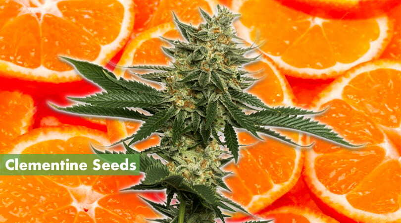 Clementine Seeds Cover Photo