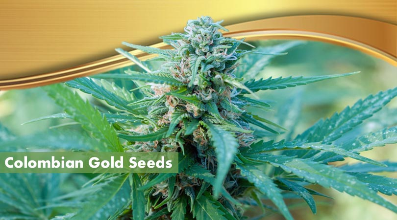 Colombian Gold Seeds Cover Photo