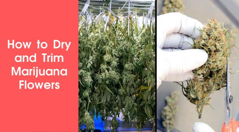 How to Dry and Trim Marijuana Flowers Cover Photo