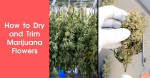 How to Dry and Trim Marijuana Flowers Featured Image