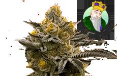 Critical Kush Feminized Seeds Crop King Seeds