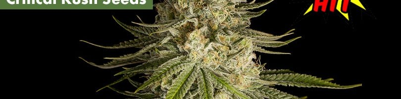 Critical Kush Seeds Featured Image