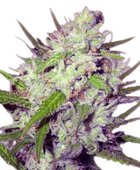 Dark Angel - Crop King Seeds