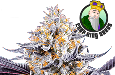 Do Si Dos Feminized Seeds Crop King Seeds