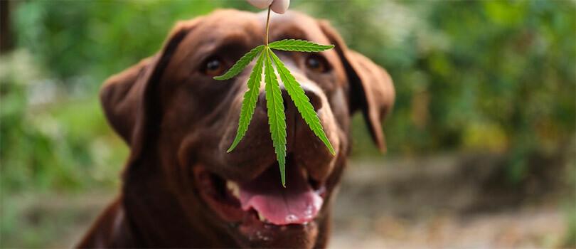 Dog and cannabis leaf