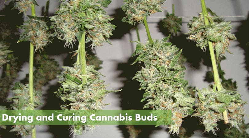 Drying and Curing Marijuana Buds
