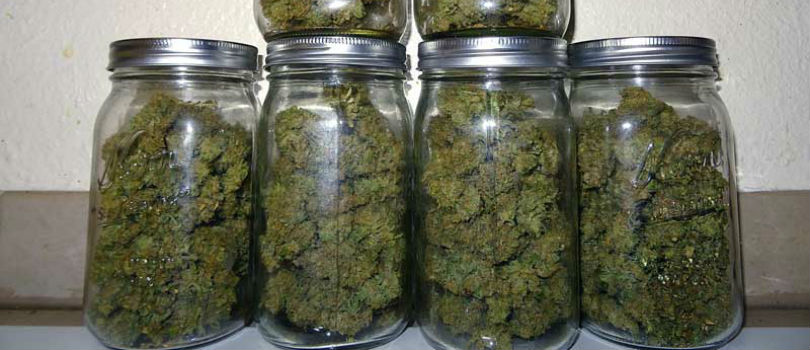 Curing Cannabis in a Jar