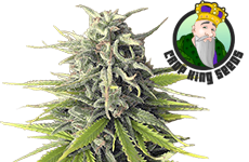 Durban Poison Feminized Seeds CKS