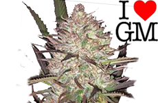 Durban Poison Feminized Seeds ILGM