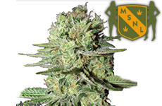 Durban Poison Feminized Seeds MSNL Seed Bank