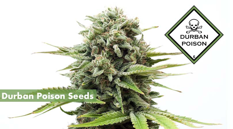 Durban Poison Seeds Cover Photo
