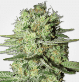 2019 Top 16 Cannabis Seeds/Strains for Beginners | 10Buds