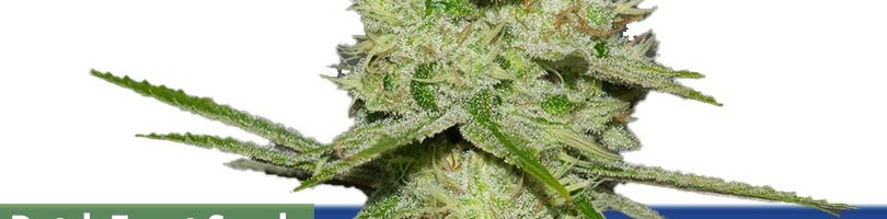 Dutch Treat Seeds Featured Image