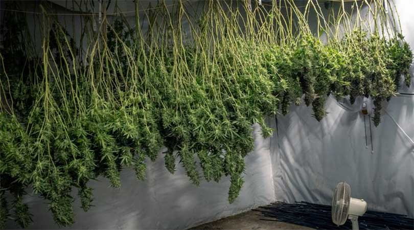 Fan under drying cannabis plants